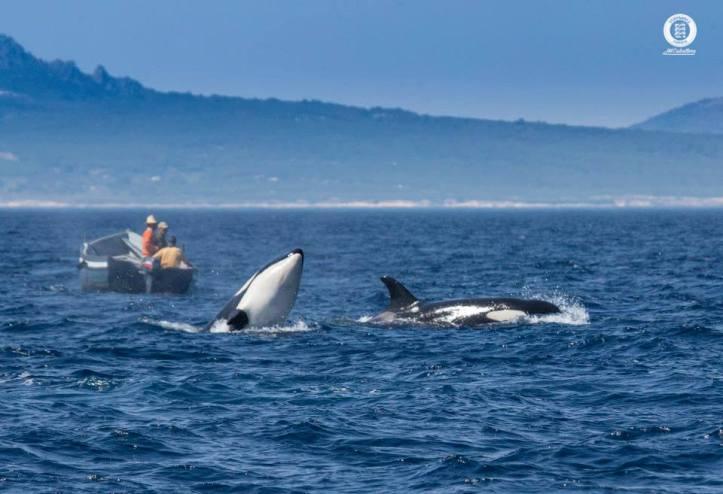 Orcas durante un avistamiento de Ballenas y Delfines en el Estrecho de Gibraltar